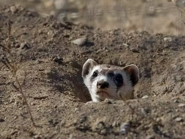 Black Footed Ferret Habitat