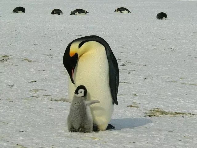 Emperor Penguin Baby