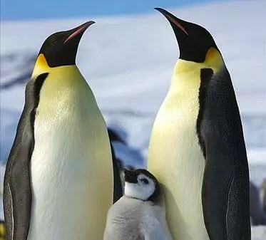 Emperor Penguin Facts