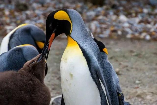Emperor Penguin feeding chicks