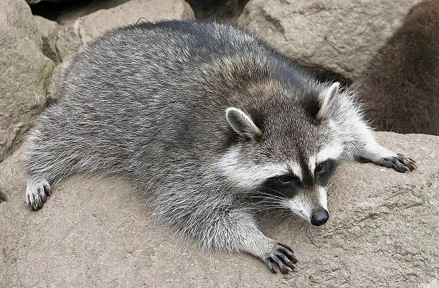 The common raccoon (Procyon lotor)