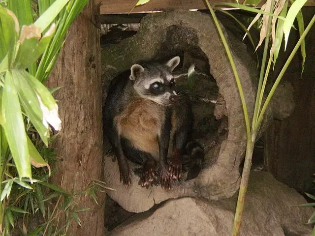 The crab-eating raccoon (Procyon cancrivorus)