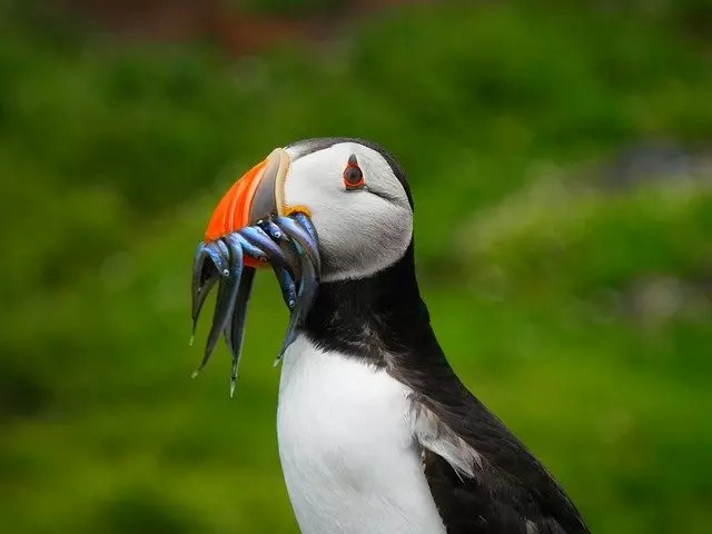What do puffins eat