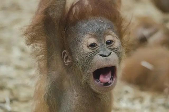 Orangutan Baby Facts