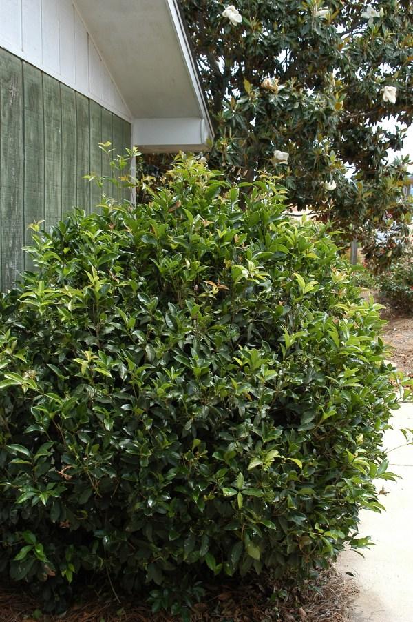 osmanthus fragrans kiefer nursery