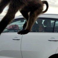Baboon in flight at Meggan