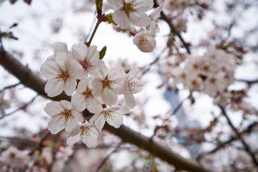 Early sakura.