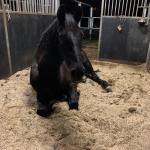 Paard Lina slaapt