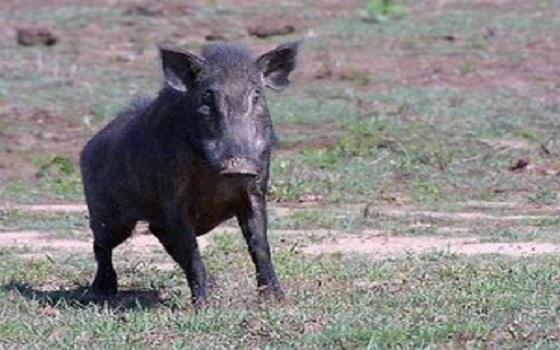 طاطا.. خنزير يتسبب في مقتل سيدة وسكان في حالة غضب