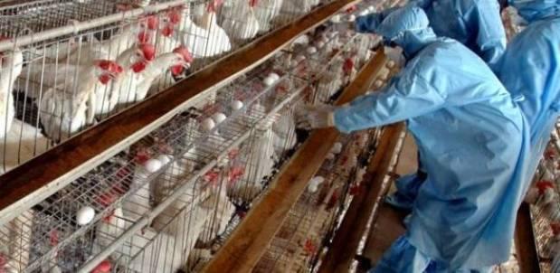 يؤدي إلى نفوق وانخفاض الإنتاج عند الدواجن.. فيروس أنفلونزا الطيور لأول مرة في المغرب