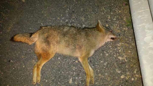 سيارة تدهس ذئبا من نوع نادر.. جريمة إيكولوجية على لوطورت بين وجدة وفاس (صور)