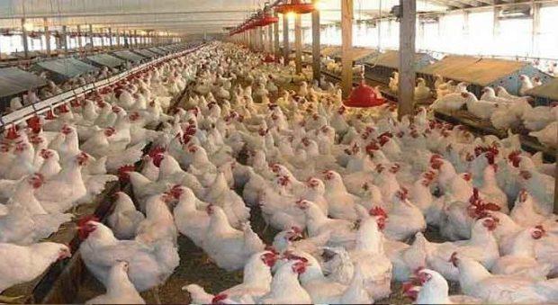 ما فيهش المضادات الحيوية والمواد الكيماوية.. البياطرة يدافعون عن الدجاج الكروازي