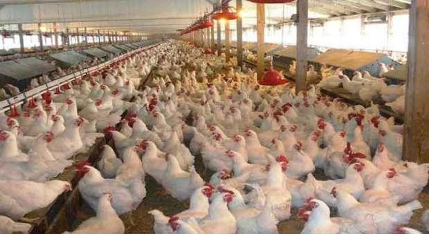 """الدجاج والأونتيبيوتيك.. المهنيون يؤكدون سلامة """"الكروازي"""""""