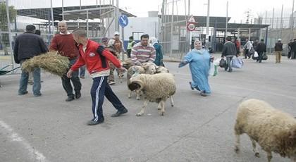 بعد المنع.. سلطات مليلية ترفع الحظر عن الحولي المغربي