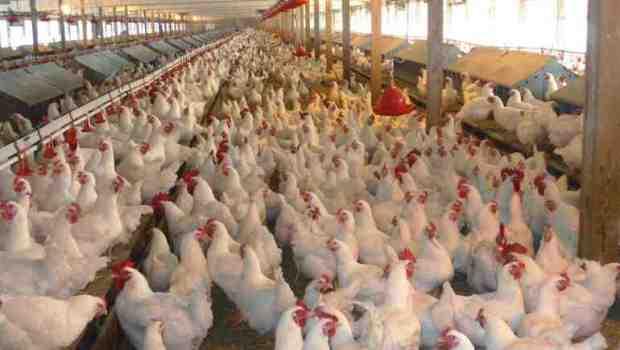 وزارة الفلاحة: الدجاج الأمريكي سيدخل المغرب بشروط