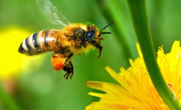 دراسة: سم النحل علاج للإكزيما