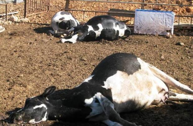 إحراق الأبقار المصابة.. مكتب السلامة الصحية يعلن القضاء على بؤر الحمى القلاعية