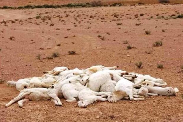 طاعون الماشية ينتشر في الجزائر.. استنفار لوزارة الفلاحة في الحدود المغربية