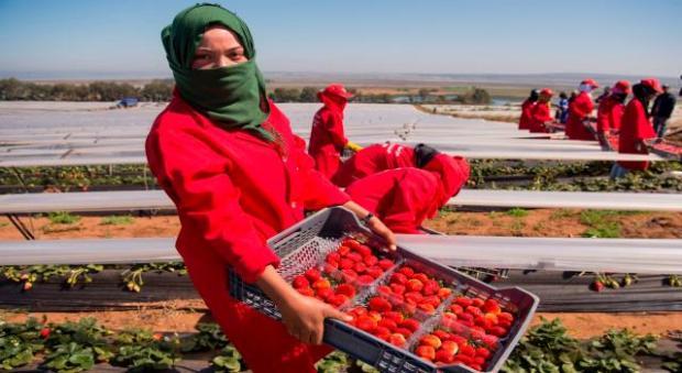 بسبب هجرة العاملات إلى إسبانيا.. منتجو الفريز المغاربة ما لقاوش اللي يخدم!