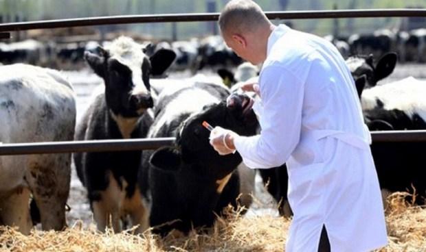 المتضررون توصلوا بحوالي مليار سنتيم.. تلقيح 2.5 مليون رأس من الأبقار ضد الحمى القلاعية