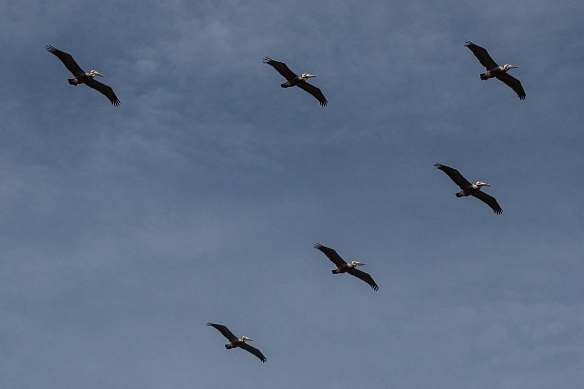 bolfo_0000s_0023_albatross
