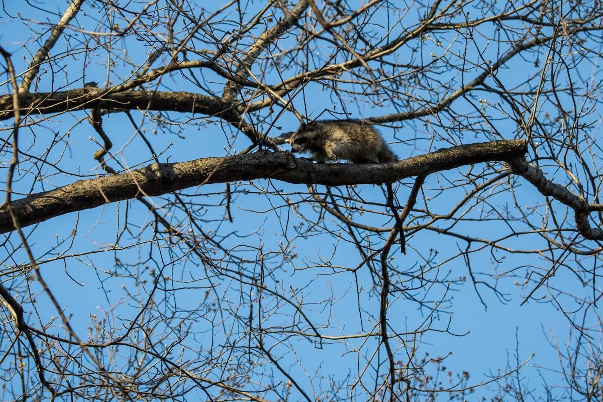Raccoon @ Central Park