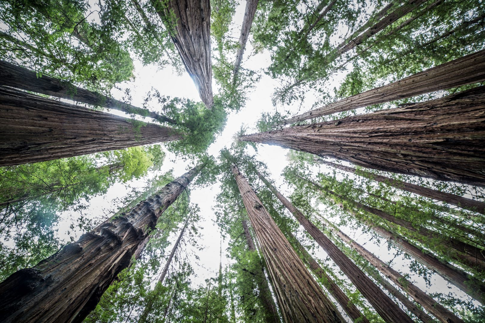 Avenue Of The Giants / Redwood Forest