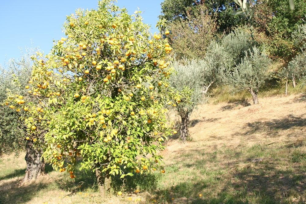 Appelsintræ