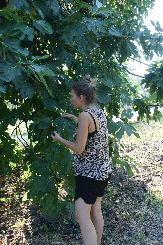 Fignetræ, selvpluk i Italien