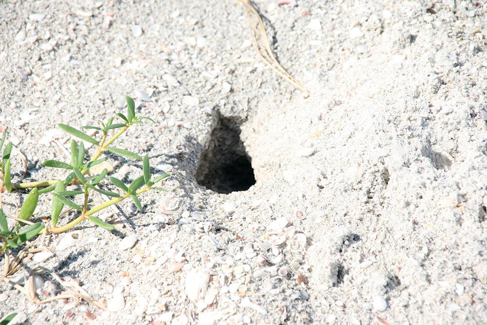 Skildpadde hul på Sanibel Island