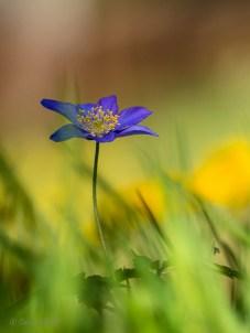 blauwe bosanemoon