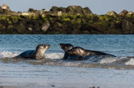 spelende jonge zeehonden