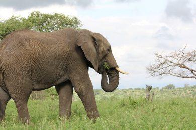 象(ゾウ)