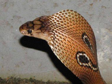 インドコブラ
