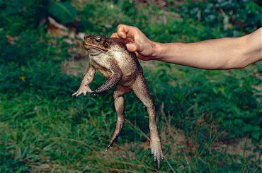 オオヒキガエル