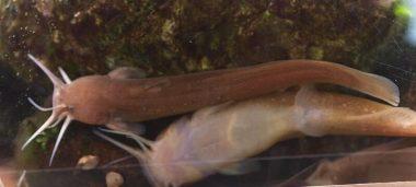 アカザ(魚)