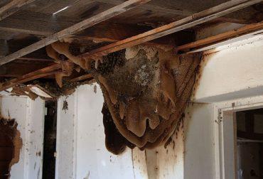 アフリカナイズドミツバチ(キラービー)の巣
