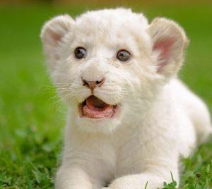 ホワイトタイガー 赤ちゃん