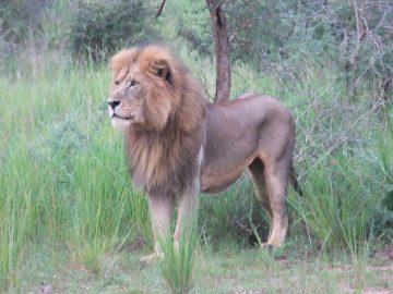 コンゴライオン