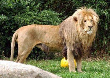 アンゴラライオン