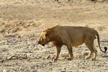 セネガルライオン