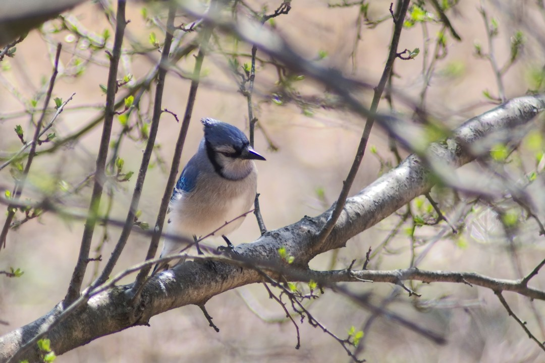 Blue jay, Fort Washington State Park