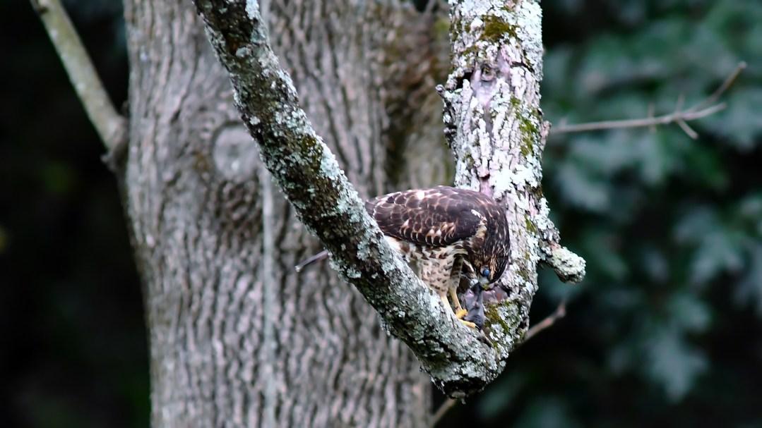 Broadwinged hawk, mole