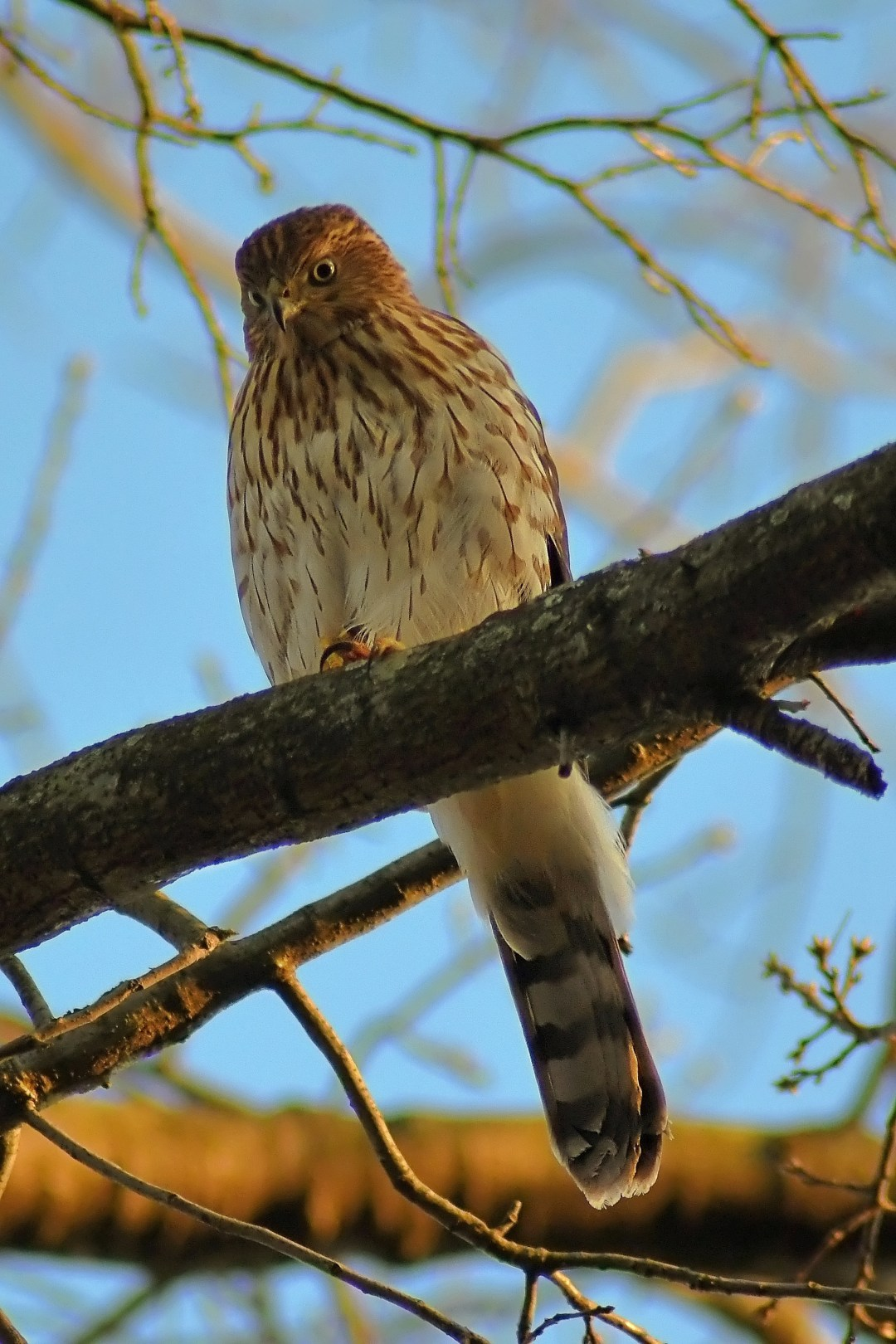 Cooper's Hawk, Fox Chase