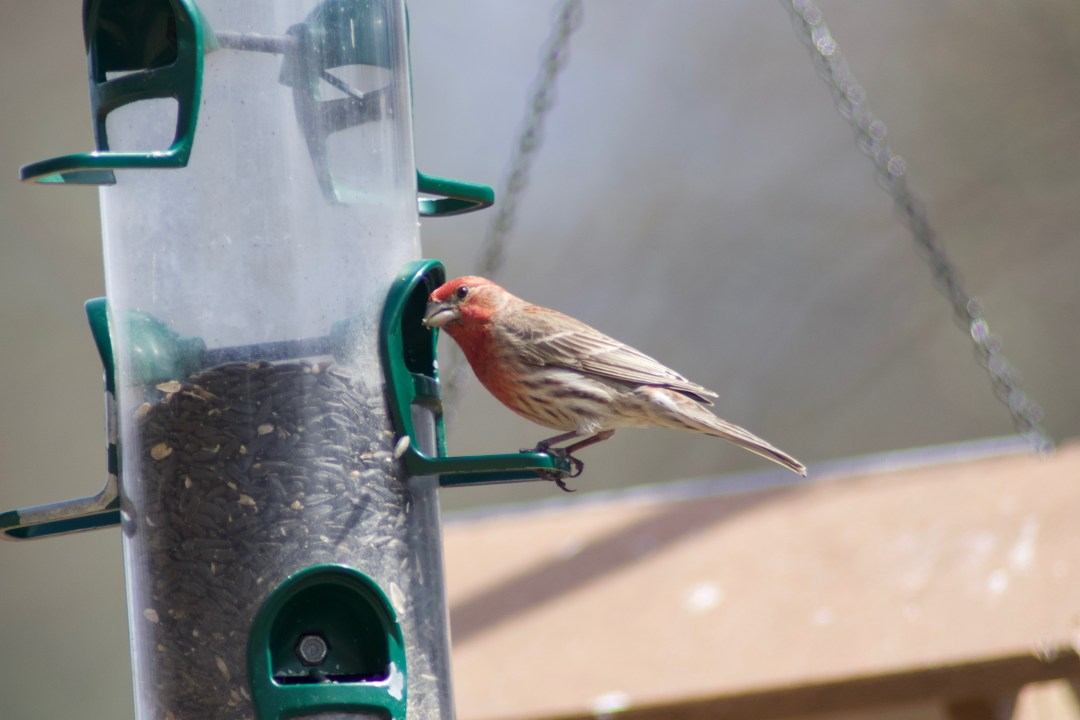 House finch, Fort Washington