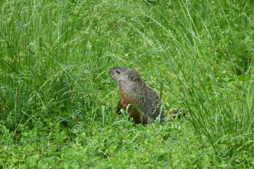 Groundhog, dexter