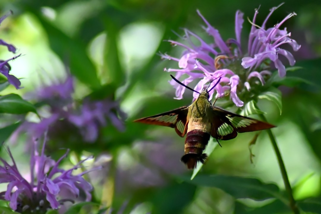 Hummingbird moth 1, Churchville Nature Center