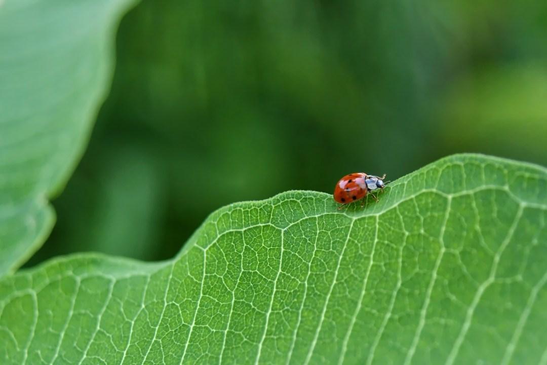 Ladybug, milkweed