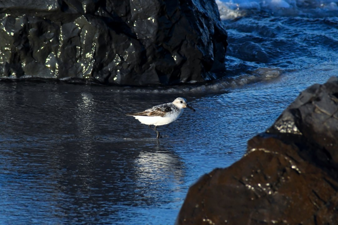Sandpiper between rocks
