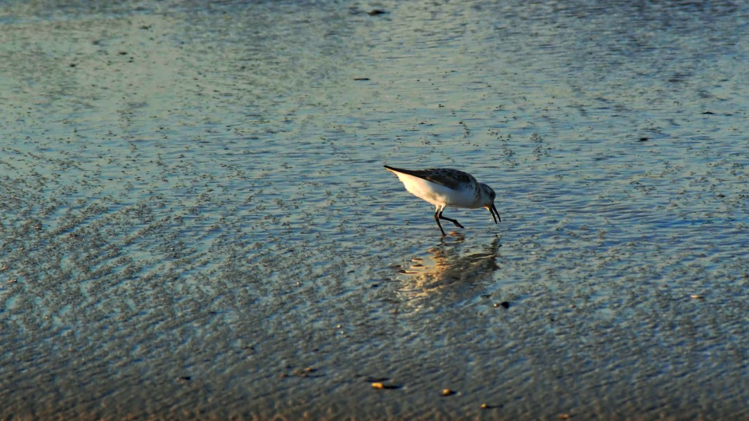 Sandpiper reflection colors, Cape May